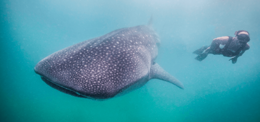 Incredible dives with Whalesharks